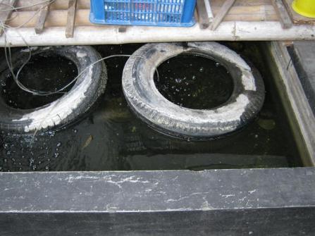 kolam sidat moa 2