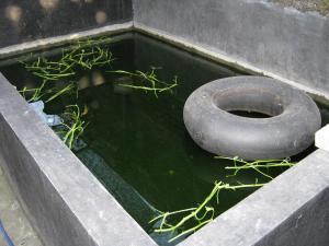 kolam sidat moa 3